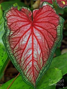 Caladium Photograph - Bleeding Heart - Caladium by Larry Nieland Unusual Flowers, Beautiful Flowers Garden, Flowers Nature, Rare Plants, Exotic Plants, Tropical Garden, Tropical Plants, Elephant Ear Plant, Elephant Ears