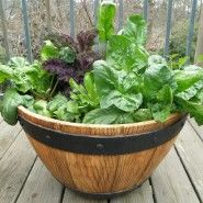 Spinach Growing in a Pot..A bowl planter filled with spinach plants makes a great small cool-season garden. Spinach is one of the most cold tolerant vegetable plants...Sue 2013