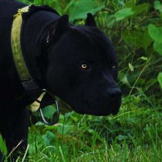 That's Vanta a very very dark bulldog Beautiful Dogs, Animals Beautiful, Cute Funny Animals, Cute Dogs, Big Dogs, Dogs And Puppies, Pit Bull Terrier, American Staffordshire Terrier, Cane Corso Dog