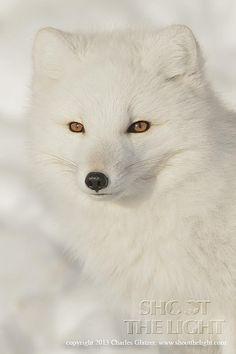Arctic fox portrait by Charles Glatzer on 500px