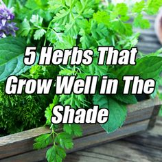 herbs that grow in shade Growing Vegetables, Growing Plants, Growing Herbs In Pots, Root Vegetables, Shade Garden, Garden Plants, Fruit Garden, Organic Gardening, Gardening Tips