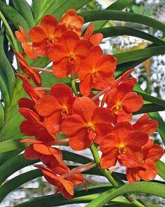 Orange Vanda Orchid, by njchow82, via Flickr