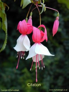Fuchsia Citation