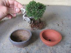盆栽:展示した真柏の鉢を替えました |春嘉の盆栽工房