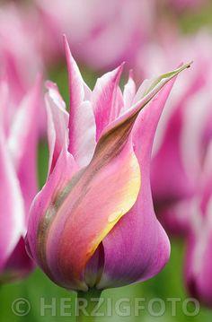 """Tulipa """"Ballade', Tulpe, Tulpen"""