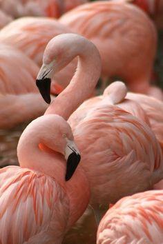 #flamingo