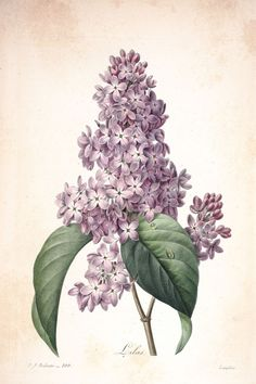 5985.Lilas.Plants.Flowers.Nature.Poster.Decoration.Graphic
