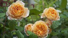 Austinrosor – 5 underbara sorter Princess Margaret, Crown, Garden, Flowers, Plants, Corona, Garten, Lawn And Garden, Flora