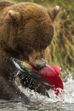 Alaskan Grizzly Bear vs. Sockeye Salmon