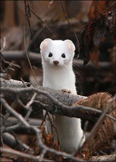 The stoat (Mustela erminea), also known as the ermine or short-tailed weasel, is a species of Mustelidae native to Eurasia and North America.