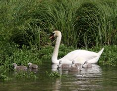 I would love to have a pond with a Swan or two.