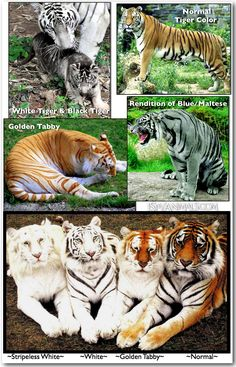 Colors of Tigers via I Spy Animals: Golden Tabby Tigers