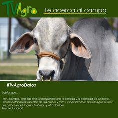 #AnotaElDato En Colombia se busca mejor las razas de ganado día tras día.