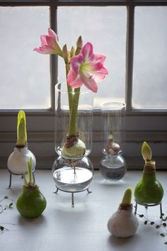 Dipped in colorful wax, an amaryllis bulb from Holland needs no further attention. Set one gently on a table and prepare to be delighted; it will send up a firecracker display of flowers to last through the winter holiday season. The amaryllis needs no additional water or soil to bloom; all the nutrition is in the bulb. The long-blooming flowers will last for up to six weeks. Imported from Holland, waxed amaryllis bulbs are still somewhat of a novelty here.