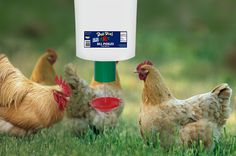 Buff Orpingtons Chicken Using Automatic Chicken feeder Automatic Chicken Feeder, Automatic Feeder, Golden Chicken, Poultry, England, Pets, Backyard Chickens, English