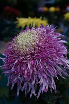Chrysanthemum 'Lola'