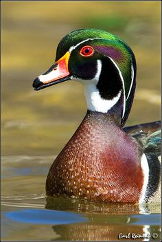 Wood Duck, Anatinae, Artic regions, South America, Africa, Australia, and North America. Lives in freshwater areas. Swans and geese are part of the wood duck family. The male wood ducks are shiny black and have short necks.