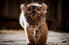 La belleza intocable - tigre #animales