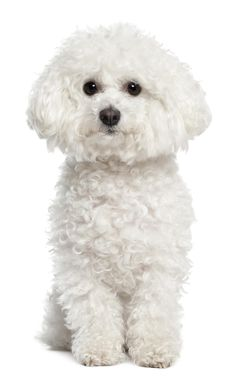 Small White Curly Dog Breeds >>> Read more about living with pet dogs by visiting the link on the image.