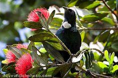 Tui on Pohutukawa - NZ Christmas Tree, on Tiritiri Matangi island The Beautiful Country, Beautiful Birds, New Zealand Landscape, New Zealand Houses, Kiwiana, Farm Gardens, Cottage Gardens, Bird Species, Christmas Pictures