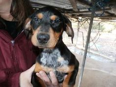 Check out Yip Cc's profile on AllPaws.com and help her get adopted! Yip Cc is an adorable Dog that needs a new home. https://www.allpaws.com/adopt-a-dog/bluetick-coonhound/2030421?social_ref=pinterest