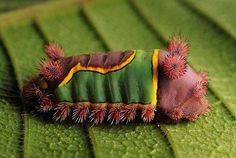 chenille by blepheropsis- Awww, it's like a circus caterpillar! Cool Insects, Bugs And Insects, Especie Animal, Mundo Animal, Beautiful Bugs, Beautiful Butterflies, Amazing Nature, Beautiful Pictures, Beautiful Creatures