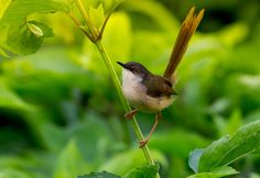 yellow-bellied Prinia by Woody L. Chu on 500px