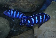 Demasoni - an African Rift Lakes' Cichlid, one of the most stunningly-coloured I have.