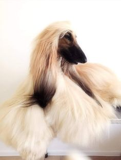 Beautiful Dog Breeds, Beautiful Dogs, Amazing Dogs, Future Farms, Afghan Hound, Tier Fotos, Dog Grooming, Dog Owners, Pretty Pictures