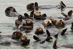California Dreaming: This group of sea otters get into the West Coast lifestyle as they settle down for a snooze while floating on their backs near Moss Landing