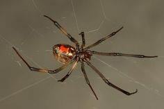 Brown Widow Spiders are not native to South Carolina. They have moved northward from Florida.