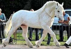9 Common White Horse Breeds (With Photos) - Horsey Hooves Draft Horse Breeds, Draft Horses, Connemara Pony, Lipizzan, Pony Breeds, White Horses, Horse Love, Farm Animals, White Marble