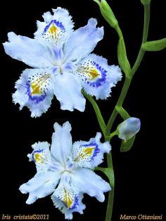 Iris cristata [Explore - Apr - Gardening - Iris cristata [Explore - Apr Iris cristata - true blue flowers are hard to find. Iris Flowers, Flowers Nature, Exotic Flowers, Amazing Flowers, My Flower, Planting Flowers, Beautiful Flowers, Orquideas Cymbidium, Bearded Iris