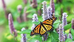 Monarch Butterfly (Danaus plexippus) on Lavender Anise Hyssop Blossom - Willowpix/E+/Getty Images