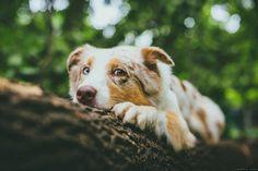 35PHOTO - Марта Май - Молли Aussie Dogs, Australian Shepherds, Aussies, Dog Pictures, Dog Cat, Corgi, Retro, Cats, House