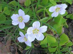 Edible wild plant Wood Sorrel (Oxalis Acetosella) has great medicinal and herbal uses.
