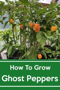 How to grow Ghost Peppers, Step by step guide on how to grow Ghost peppers and other peppers. Ghost Pepper Seeds, Ghost Pepper Plants, Gardening For Beginners, Gardening Tips, Growing Bell Peppers, Greenhouse Growing, Mini Greenhouse, Greenhouse Ideas, Fall Vegetables