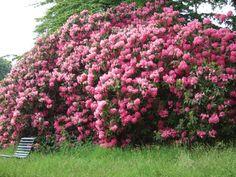 Beautiful rhodedendrons at #Blickling Hall.