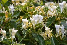 Climbing Hydrangea, Climbing Vines, Bougainvillea, Floral Flowers, Yellow Flowers, Pretty Flowers, Wonderful Flowers, Simple Flowers, Honeysuckle Plant