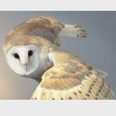 @mag.giesheph.erd owl in flight by wildlife photographer Tim Flach timflachphotography #owl #flight #bird #beautiful #grace #feathers #wiseowl #endangered #fellowtraveler #wildlife #study #animal #naturalhistory #nature #biology #zoology #specimen #avian #almosthuman