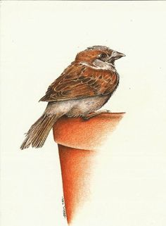 How to draw a House Sparrow with coloured pencils - Val Webb