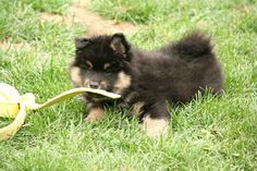 "Finnish Lapphund puppy ""James,"" Can Ch Bearspaw Tapio. Photo by Nicole Prokopishyn."
