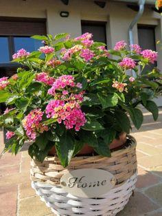Így lesz szép a sétányrózsa - olvasói tanácsok | Balkonada Plants, Gardening, Balcony, Hand Crafts, Lawn And Garden, Balconies, Plant, Planets, Horticulture