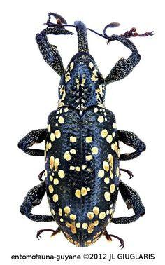 Heilipus apiatus (Olivier, 1807)                                                                                                                                                                                 Plus