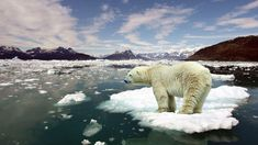 This could be used as a visual aid. It is a polar bear standing on a floating piece of ice as a product of climate change. Polar Bear Wallpaper, Global Warming Climate Change, Mundo Animal, Tier Fotos, Antarctica, Endangered Species, Beautiful Creatures, Pet Birds, Habitats