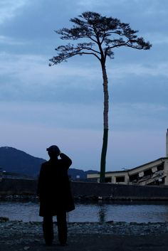 The tsunami-ravaged city of Rikuzentakata, Japan , cut down the lone pine tree survived the disaster, 18 months ago and came to symbolize hope, but there are plans to keep the preserved tree on display.