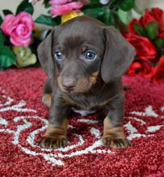 Mini #dachshund Puppies For Sale Black Tan,Doxie Breeder short Hair Pups #daschundpuppies