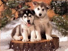 Two Cute Siberian Husky pups. What a wonderful Christmas present!