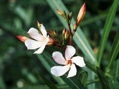 Nerium oleander  is a rounded shrub or small tree, with long, dark green leaves and an abundance of single or double, sometimes fragrant flowers in variety of colors. All parts of the plant are extremely poisonous.
