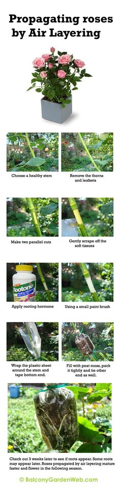 Infographic : How to propagate rose by air layering. More amazing info in this post.